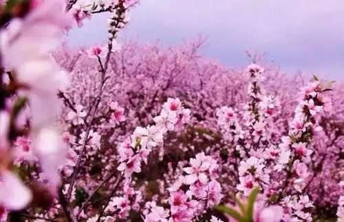 4月的云台山十里桃林+万亩连翘花