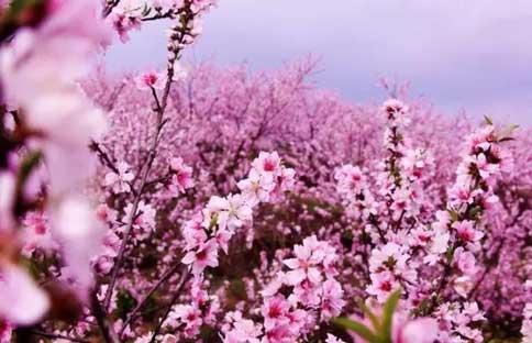云台山女神节山上花开了