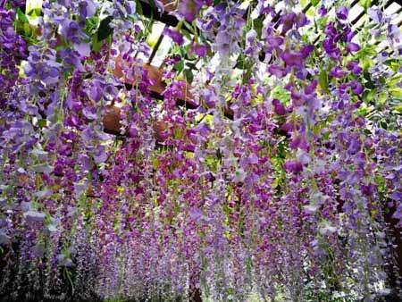 云台山红石峡紫藤花近景图片